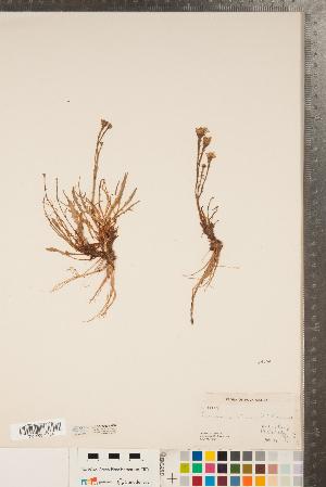 (Arnoseris - CCDB-22993-H10)  @11 [ ] Copyright (2015) Deb Metsger Royal Ontario Museum