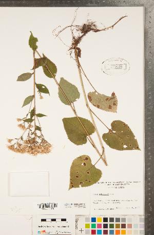 (Eurybia - CCDB-22989-H11)  @11 [ ] Copyright (2015) Deb Metsger Royal Ontario Museum
