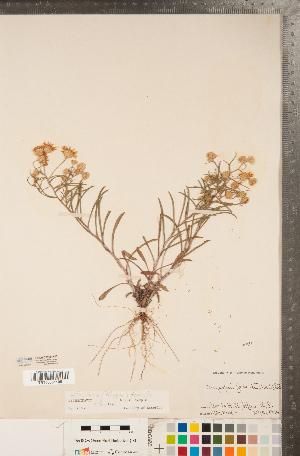 (Pityopsis - CCDB-22990-H03)  @11 [ ] Copyright (2015) Deb Metsger Royal Ontario Museum