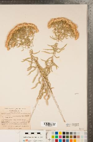 (Chrysothamnus - CCDB-22990-C03)  @11 [ ] Copyright (2015) Deb Metsger Royal Ontario Museum