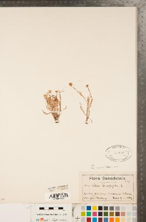 (Cotula - CCDB-22990-C05)  @11 [ ] Copyright (2015) Deb Metsger Royal Ontario Museum