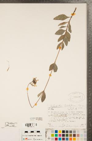 (Helianthus pauciflorus - CCDB-22990-A11)  @11 [ ] Copyright (2015) Deb Metsger Royal Ontario Museum