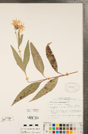 (Helianthus pauciflorus - CCDB-22990-H12)  @11 [ ] Copyright (2015) Deb Metsger Royal Ontario Museum