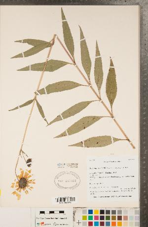 (Helianthus x laetiflorus - CCDB-22990-F12)  @11 [ ] Copyright (2015) Deb Metsger Royal Ontario Museum