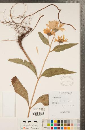 (Helianthus pauciflorus - CCDB-22990-E12)  @11 [ ] Copyright (2015) Deb Metsger Royal Ontario Museum