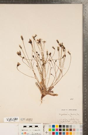 (Hypochaeris - CCDB-22991-F11)  @11 [ ] Copyright (2015) Deb Metsger Royal Ontario Museum