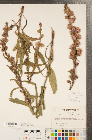 (Liatris x spheroidea - CCDB-22992-C01)  @11 [ ] Copyright (2015) Deb Metsger Royal Ontario Museum