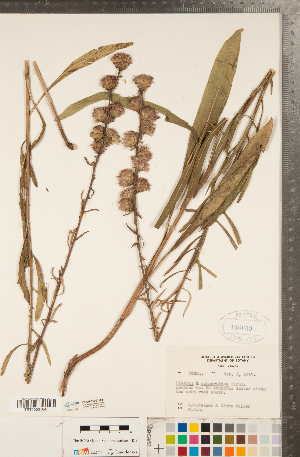 (Liatris x spheroidea - CCDB-22992-A01)  @11 [ ] Copyright (2015) Deb Metsger Royal Ontario Museum