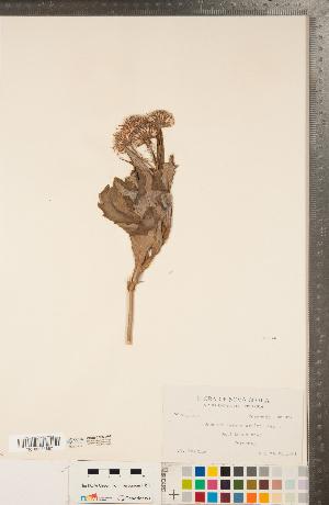 (Senecio pseudoarnica - CCDB-22992-A04)  @11 [ ] Copyright (2015) Deb Metsger Royal Ontario Museum