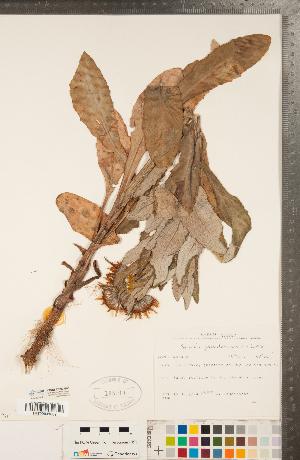 (Senecio pseudoarnica - CCDB-22992-G05)  @11 [ ] Copyright (2015) Deb Metsger Royal Ontario Museum