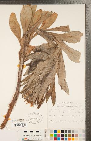 (Senecio pseudoarnica - CCDB-22992-F05)  @11 [ ] Copyright (2015) Deb Metsger Royal Ontario Museum