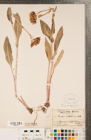 (Senecio hydrophilus - CCDB-22992-B07)  @11 [ ] Copyright (2015) Deb Metsger Royal Ontario Museum