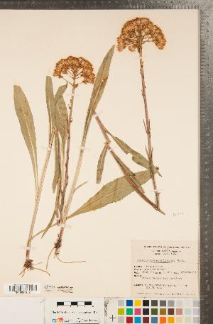 (Senecio hydrophiloides - CCDB-22992-A07)  @11 [ ] Copyright (2015) Deb Metsger Royal Ontario Museum