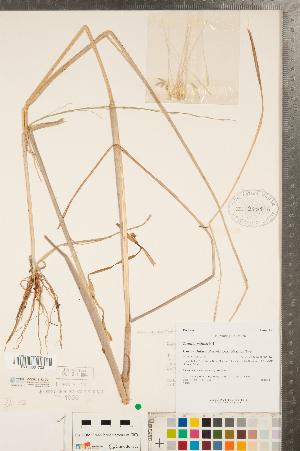 (Zizania palustris - CCDB-23112-D01)  @11 [ ] Copyright (2015) Deb Metsger Royal Ontario Museum