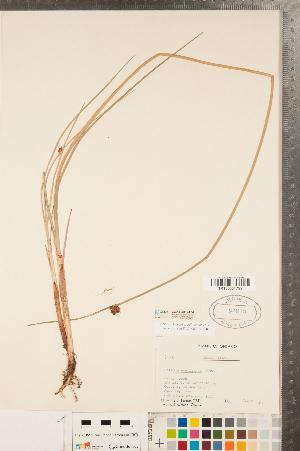 (Schoenoplectus - CCDB-23112-F04)  @11 [ ] Copyright (2015) Deb Metsger Royal Ontario Museum