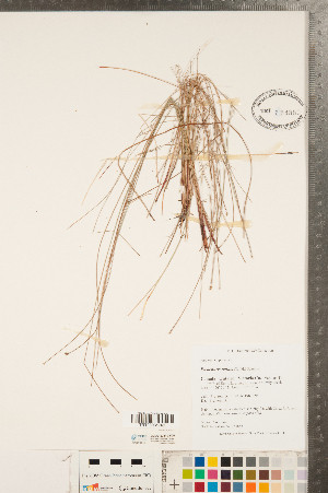 (Eleocharis - CCDB-23112-F05)  @11 [ ] Copyright (2015) Deb Metsger Royal Ontario Museum
