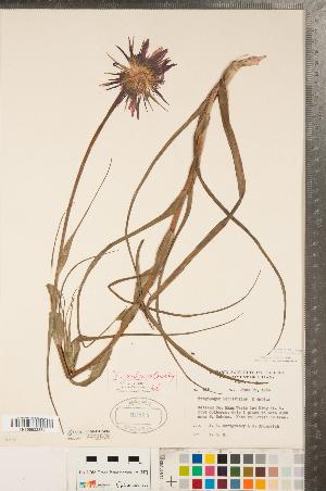(Tragopogon - CCDB-23110-C02)  @11 [ ] Copyright (2015) Deb Metsger Royal Ontario Museum