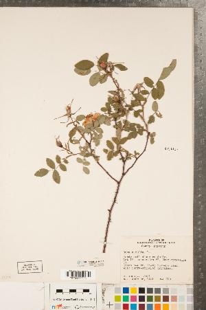 (Rosa carolina - CCDB-23110-A10)  @11 [ ] Copyright (2015) Deb Metsger Royal Ontario Museum