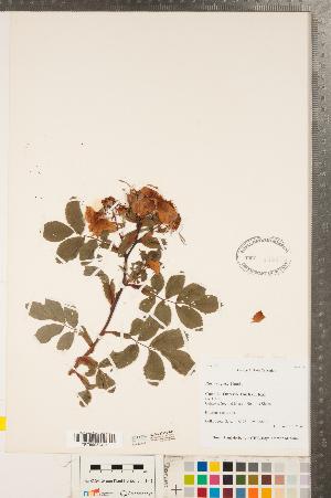(Rosa rugosa - CCDB-23110-A11)  @11 [ ] Copyright (2015) Deb Metsger Royal Ontario Museum