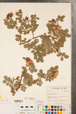 (Rosa rubiginosa - CCDB-23110-H12)  @11 [ ] Copyright (2015) Deb Metsger Royal Ontario Museum