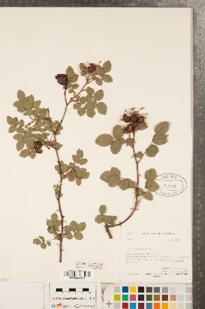 (Rosa rubiginosa - CCDB-23110-F12)  @11 [ ] Copyright (2015) Deb Metsger Royal Ontario Museum