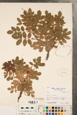 (Rosa rugosa - CCDB-23110-E12)  @11 [ ] Copyright (2015) Deb Metsger Royal Ontario Museum