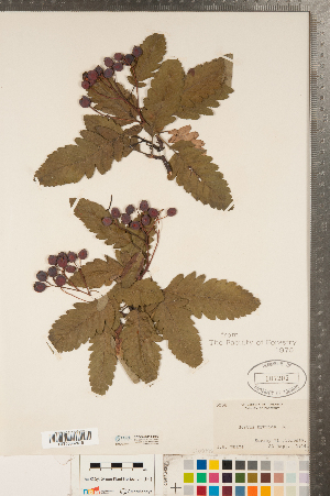(Sorbus hybrida - CCDB-23111-H02)  @11 [ ] Copyright (2015) Deb Metsger Royal Ontario Museum