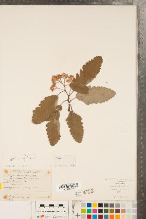 (Sorbus hybrida - CCDB-23111-E02)  @11 [ ] Copyright (2015) Deb Metsger Royal Ontario Museum