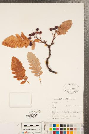 (Sorbus hybrida - CCDB-23111-D02)  @11 [ ] Copyright (2015) Deb Metsger Royal Ontario Museum