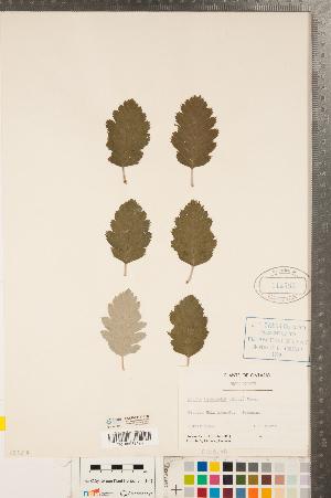 (Sorbus intermedia - CCDB-23111-H03)  @11 [ ] Copyright (2015) Deb Metsger Royal Ontario Museum