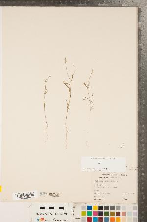 (Polygala verticillata - CCDB-23111-E04)  @11 [ ] Copyright (2015) Deb Metsger Royal Ontario Museum