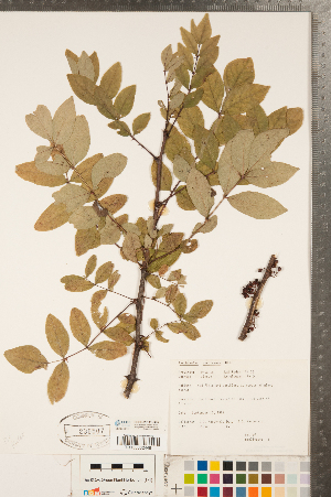 (Rutoideae - CCDB-23111-G05)  @11 [ ] Copyright (2015) Deb Metsger Royal Ontario Museum