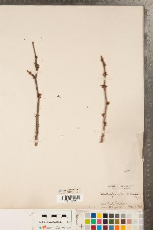 (Rutoideae - CCDB-23111-A05)  @11 [ ] Copyright (2015) Deb Metsger Royal Ontario Museum