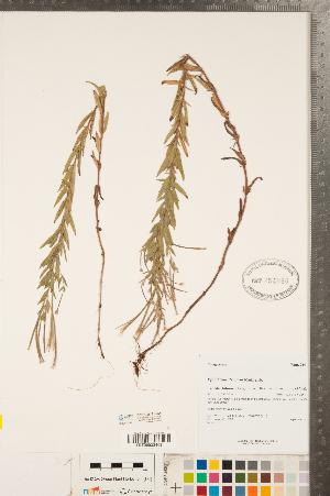 (Epilobium strictum - CCDB-23111-B08)  @11 [ ] Copyright (2015) Deb Metsger Royal Ontario Museum