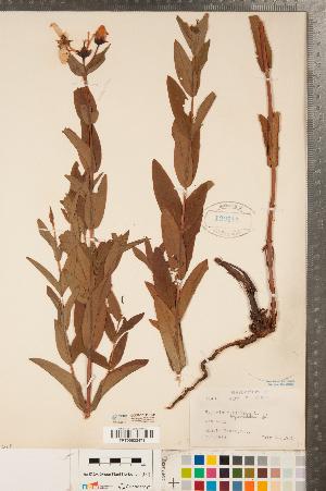(Hypericum ascyron - CCDB-23111-H09)  @11 [ ] Copyright (2015) Deb Metsger Royal Ontario Museum