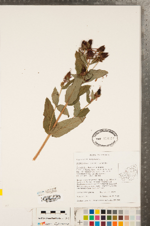 (Hypericum ascyron - CCDB-23111-G09)  @11 [ ] Copyright (2015) Deb Metsger Royal Ontario Museum