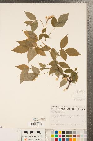 (Staphylea - CCDB-23111-B10)  @11 [ ] Copyright (2015) Deb Metsger Royal Ontario Museum