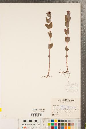 (Hypericum fraseri - CCDB-23111-F12)  @11 [ ] Copyright (2015) Deb Metsger Royal Ontario Museum