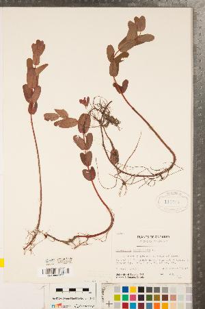 (Hypericum virginicum - CCDB-23111-C12)  @11 [ ] Copyright (2015) Deb Metsger Royal Ontario Museum