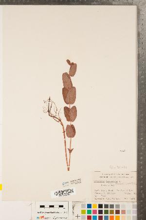 (Hypericum fraseri - CCDB-23111-B12)  @11 [ ] Copyright (2015) Deb Metsger Royal Ontario Museum