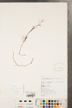 (Heteranthera - CCDB-23112-C10)  @11 [ ] Copyright (2015) Deb Metsger Royal Ontario Museum