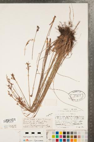 (Juncus greenei - CCDB-23112-H11)  @11 [ ] Copyright (2015) Deb Metsger Royal Ontario Museum