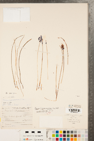 (Muscari armeniacum - CCDB-23112-F11)  @11 [ ] Copyright (2015) Deb Metsger Royal Ontario Museum