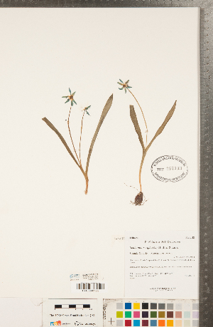 (Hyacinthoides - CCDB-23112-E11)  @11 [ ] Copyright (2015) Deb Metsger Royal Ontario Museum