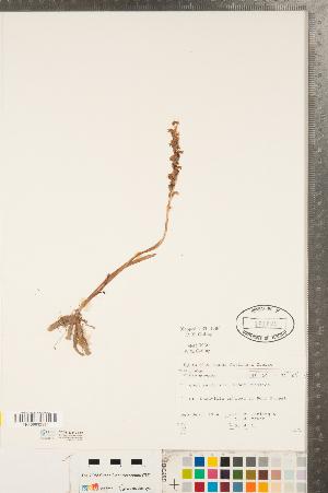 (Spiranthes - CCDB-23112-E12)  @11 [ ] Copyright (2015) Deb Metsger Royal Ontario Museum