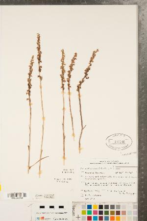(Spiranthes casei - CCDB-23122-H01)  @11 [ ] Copyright (2015) Deb Metsger Royal Ontario Museum