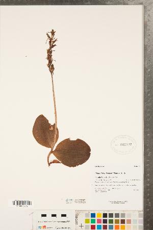 (Platanthera - CCDB-23122-F01)  @11 [ ] Copyright (2015) Deb Metsger Royal Ontario Museum