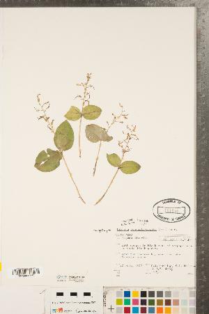 (Neottia - CCDB-23122-F02)  @11 [ ] Copyright (2015) Deb Metsger Royal Ontario Museum