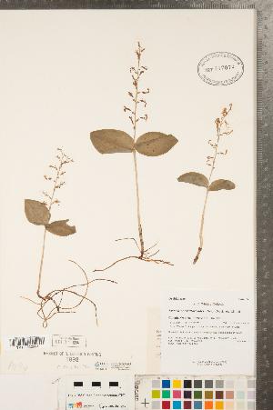 (Neottia - CCDB-23122-C02)  @11 [ ] Copyright (2015) Deb Metsger Royal Ontario Museum