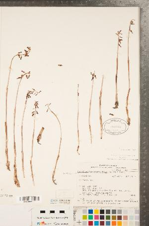 (Corallorhiza - CCDB-23122-E03)  @11 [ ] Copyright (2015) Deb Metsger Royal Ontario Museum